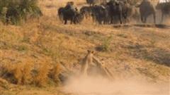 Trâu rừng bị 3 con sư tử đu lên người, trận chiến sinh tử sẽ có kết cục ra sao?
