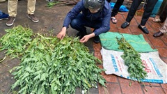 Hà Nội phát hiện một hộ dân trồng hàng trăm cây anh túc trong vườn nhà