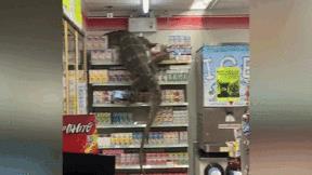 Khoảnh khắc thằn lằn khổng lồ 'đột kích' siêu thị vì...đói