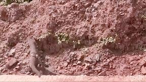 Cầy mangut cuống cuồng thoát thân khi bị trăn quấn chặt cơ thể