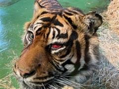 Ca phẫu thuật hy hữu để cứu... mắt cho chú hổ Sumatra