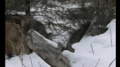 Chó sói đau đớn 'khóc ròng' khi đụng phải con mồi nhỏ mà có võ