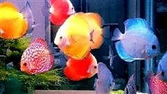10 loại cá phong thuỷ giúp gia chủ rước lộc vào nhà