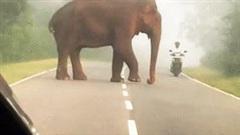 Tránh voi khổng lồ, thanh niên đi xe máy ngã sõng soài trên đường