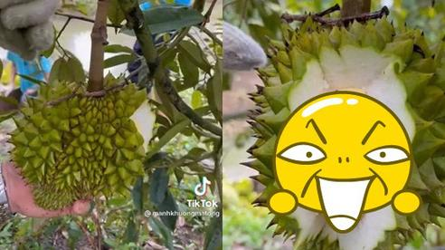 Tự tin bổ quả sầu riêng bé nhất trên cây, bên trong lộ ra thứ khiến anh chủ vườn 'cười như được mùa'