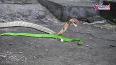 Rắn lục đuôi đỏ quay đầu cắn thẳng vào miệng hổ mang chúa