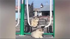 Ngã cùng ngã và những khoảnh khắc hài hước vui nhộn của thú cưng