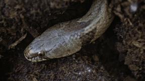 Kỳ lạ loài rắn độc chỉ thích chui xuống đất để săn mồi