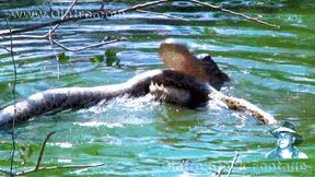 Cá sấu dùng tuyệt chiêu dìm chết trăn khủng rồi ăn thịt