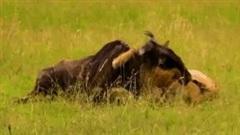 Linh dương đầu bò 'ngủ gật' bị đàn sư tử xé thịt