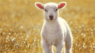 Truyện cổ tích: Cừu non và con cá