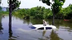 Chú chó mắc kẹt trên nóc chiếc ôtô trong nước lũ