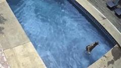 Tên trộm thản nhiên nhảy vào bể bơi để tắm trước khi vào nhà lấy đồ