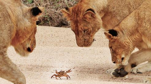 Cười xỉu clip có 1-0-2: Đàn sư tử túm tụm xem... cua bò