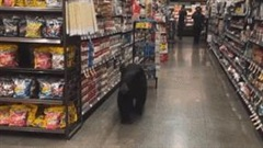Mỹ: Gấu đen ''hạ sơn' xuống phố, vào siêu thị đi dạo