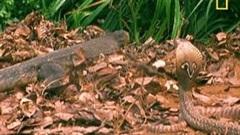 Cậy có nọc độc, rắn hổ mang không ngờ bị kỳ đà tung cú trời giáng vào mặt