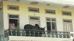 Giải cứu con bò nặng 200kg tự leo lên tầng 2 trú mưa và bị mắc kẹt
