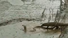 Trận tử chiến giữa vũng nước giữa cầy mangut và rắn hổ mang