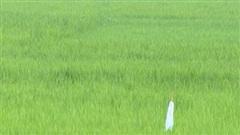 Kỳ án xác chết giữa cánh đồng: Ba vết thủng trên gò má và cuộc truy tìm 'vô tiền khoáng hậu' kẻ sát nhân giấu mặt (Kỳ 1)