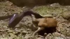 Sư tử được bài học nhớ đời vì cả gan tấn công trăn đá