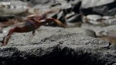 Hành trình vượt biển kiếm ăn đầy gian nan của đàn cua biển trước kẻ thù