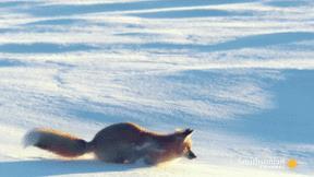 Độc chiêu săn chuột 'siêu dị' của cáo đỏ Bắc Cực