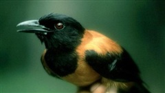 Chú chim nhỏ xinh phát ra mùi hương lạ, bị 'hắt hủi' - Tuyệt đối không được chạm tay vào!
