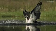 Lao như tên bắn xuống hồ, đại bàng không bay lên nổi vì con mồi quá to