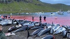 Kinh hoàng hình ảnh hơn 1.400 cá heo bị giết trong 1 ngày, nhuộm đỏ cả một vùng biển