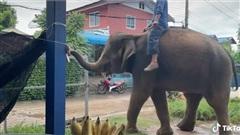Thực hư clip chú voi ở Đắk Lắk biết tự đóng, mở cổng, tự lấy đồ ăn gây xôn xao cõi mạng