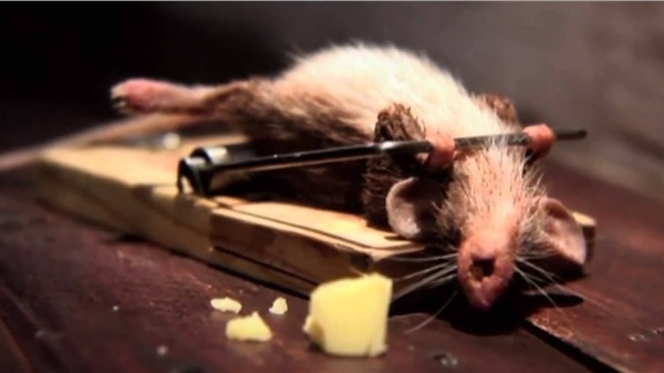 Nông dân Úc chế tạo chiếc bẫy khổng lồ bắt hàng nghìn con chuột mỗi đêm